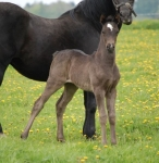 First crop of foals by Ringside Gameover